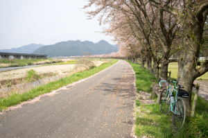 加古川堤防の桜