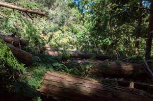 保津川沿いの道の倒木
